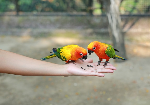 Sun conure parrots are eating food on hand.