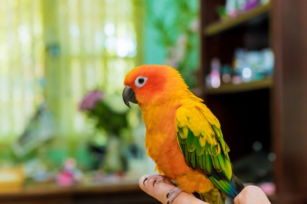 Sun conure perched on the fingers of its owner a hand