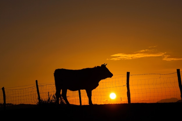 Sun and cow