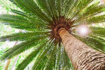 Sun flare on tropical date palm tree