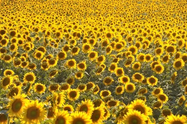 Поле солнечных цветов