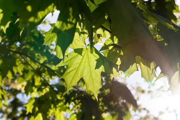 カエデの木の新鮮な若い葉を通して照らし、輝く太陽