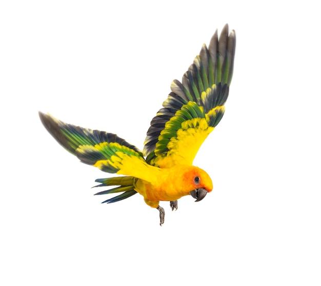 Солнечный попугай, птица, aratinga solstitialis, полет, изолированные