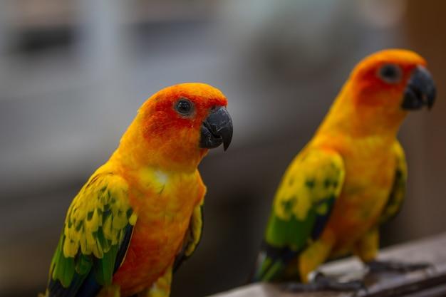 Sun parakeet or sun conure parrot, beautiful yellow and orange parrot bird