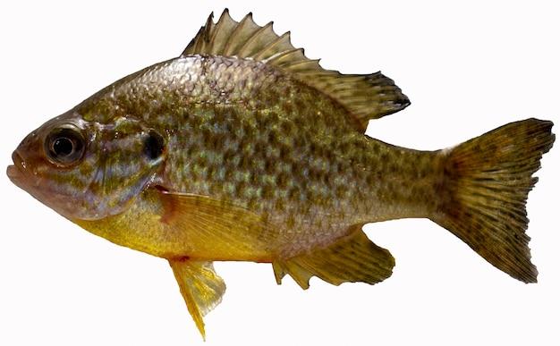 태양 농 어 화이트 절연입니다. 민물고기.