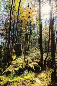 Солнечные лучи от яркого солнца, сияющего между деревьями зеленого леса с папоротниковыми кустами зеленой травы