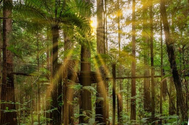 レッドウッドの太陽光線