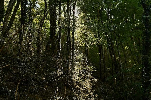 Солнечные лучи пробиваются сквозь заросли покрытых мхом стволов деревьев в тропическом лесу с умеренным климатом.