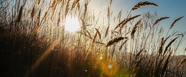青い空を背景に、トウモロコシの穂を通して色付きのハイライトのある太陽光線。