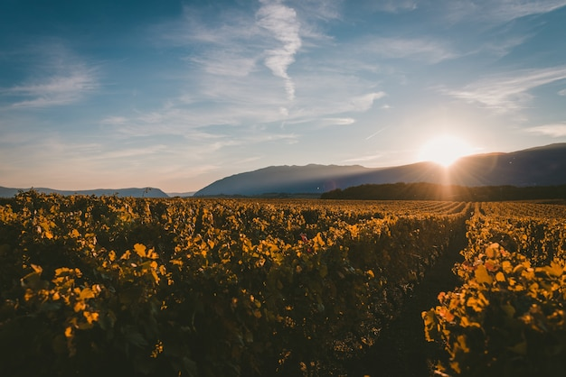 Sun setting behind the mountains and covering the vineyard with the light