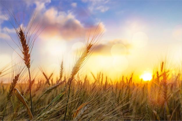 Солнце светит над золотой ячмень, пшеничное поле на рассвете, закат