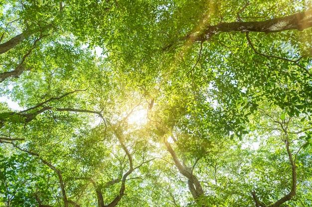 Солнце сквозь зеленые ветви деревьев, низкий угол обзора, фон
