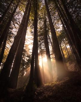 カリフォルニア州ライムキルン州立公園の木々の間から輝く太陽
