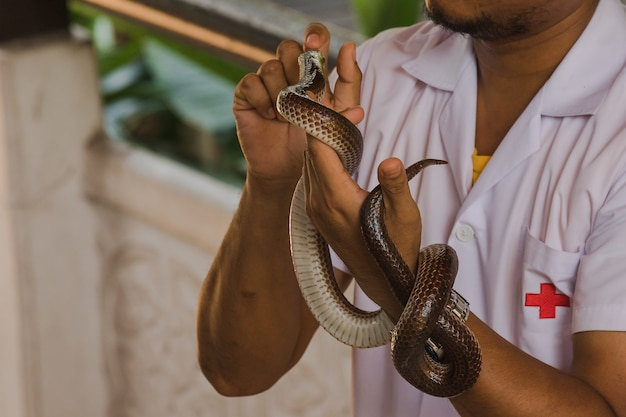 Sunbeam snake on the hands of menis a non-venomous snake the body is black to dark brown.