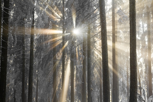 Sunbeams breaking through the cold fog an snow covered trees.