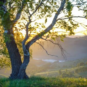 白樺の枝を通る太陽光線。