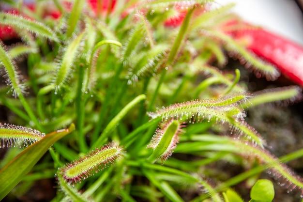 Росянки, хищное растение drosera capensis крупным планом