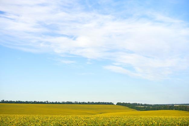 ひまわり農業フィールド曇り空の背景収穫シーズン夏