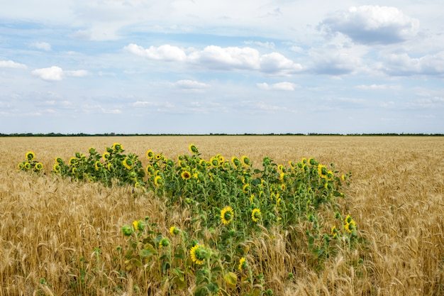 Sunflower among a wheaten field in the summer afternoon