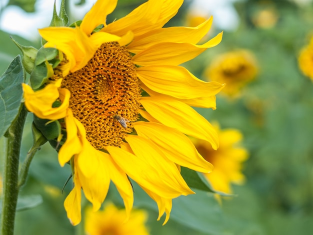 Sunflower and bee on it in field on summer day