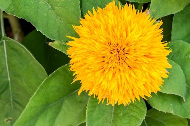 庭のひまわり大きな黄色