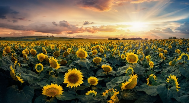Sunflower blooming in a field
