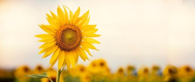 Подсолнечник цветет на ферме с солнечным светом, золотыми полями.