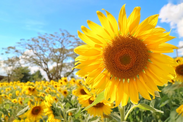 Sunflower blooming with sunflower garden, big tree and blue sky.
