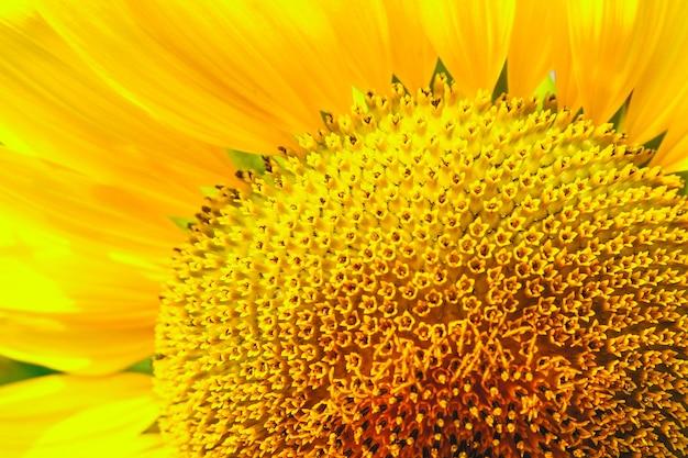 Sunflower blossom close up.