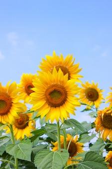 푸른 하늘에 해바라기 꽃 가까이