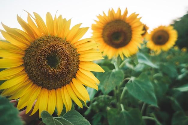 Цветение подсолнечника на поле подсолнечника. экология, органическое земледелие, концепция садоводства.