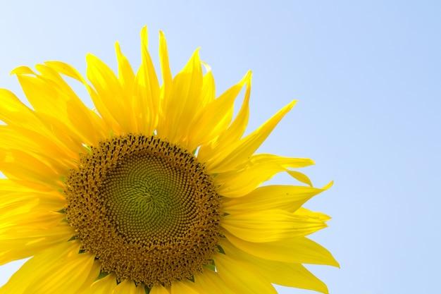 Sunflower blossoming