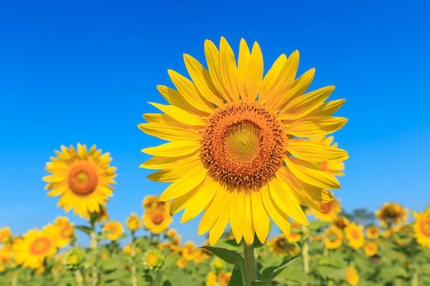Sunflower under the blue sky.