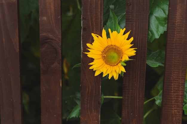 Sunflower bud on green creamy blurred background. brown fence. space for text.