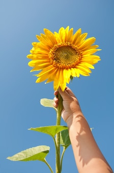 Sunflower in child's hand