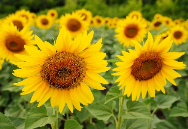 Sunflower close-up against a field of yellow flowers