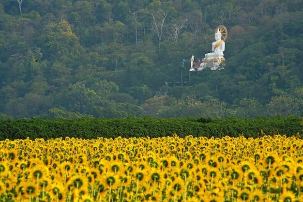 Sunflower farm in countryside and buddha statue, lopburi, thailand