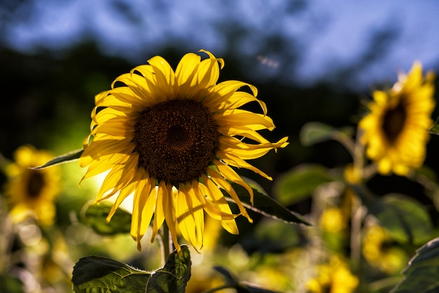 Sunflower farm with rim light at night