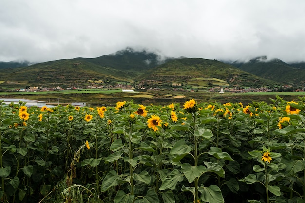 Sunflower field and agriculture landscape and flower closeup in oahu