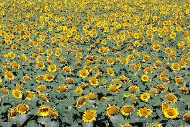 ひまわり畑と明るい太陽の光