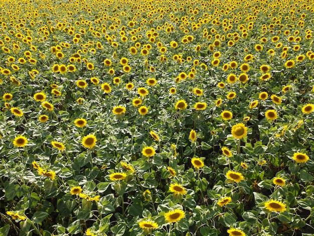 Поле подсолнечника, цветущие стебли подсолнечника на поле под палящим солнцем.