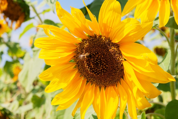 Sunflower in a field on a bright summer day
