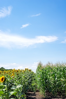 Sunflower field and corn field on cloudy sky background.