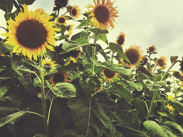 Sunflower field countryside agriculture concept