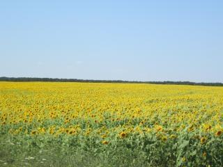 ひまわり畑のフィールド