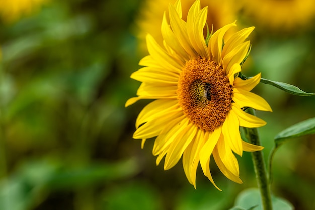 Поле подсолнухов в солнечном свете, яркий яркий цветочный пейзаж летом, красивые цветы подсолнечника, много растений с пышными листьями
