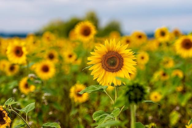 日差しの中でひまわり畑、夏の明るく活気に満ちた花の風景、美しい太陽の花、緑豊かな葉を持つ多くの植物