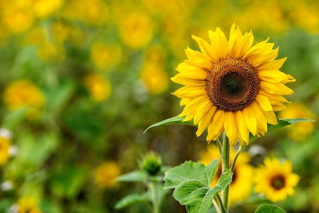 햇살에 해바라기 밭, 여름철 밝고 활기찬 꽃 풍경, 아름다운 태양 꽃 꽃, 무성한 잎이 많은 식물