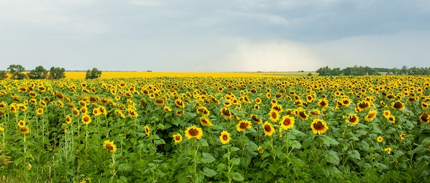 Sunflower field landscape close-up on summer sunny day
