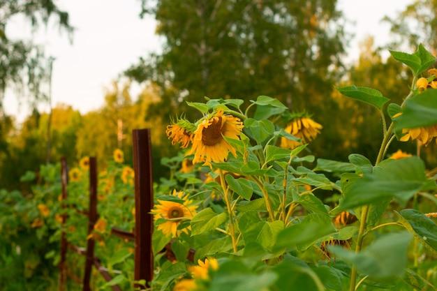 Sunflower field landscape on a farm
